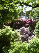 31st May 2010 - Rhodedendrons.