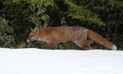 5th Feb 2012 - Neighbourhood fox.