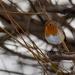 Robin by natsnell
