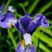 Iris by dora