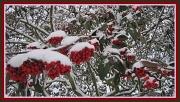 6th Feb 2012 - Red berries