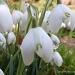 Snowdrops  2 by carolmw