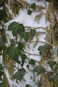 5th Feb 2012 - Ivy in the snow