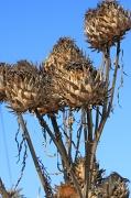7th Feb 2012 - Giant thistle seedheads