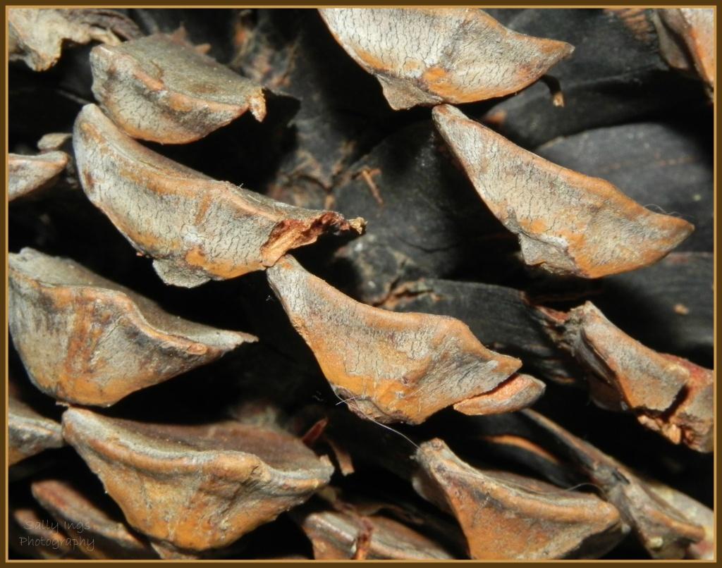 Pine Cone by salza