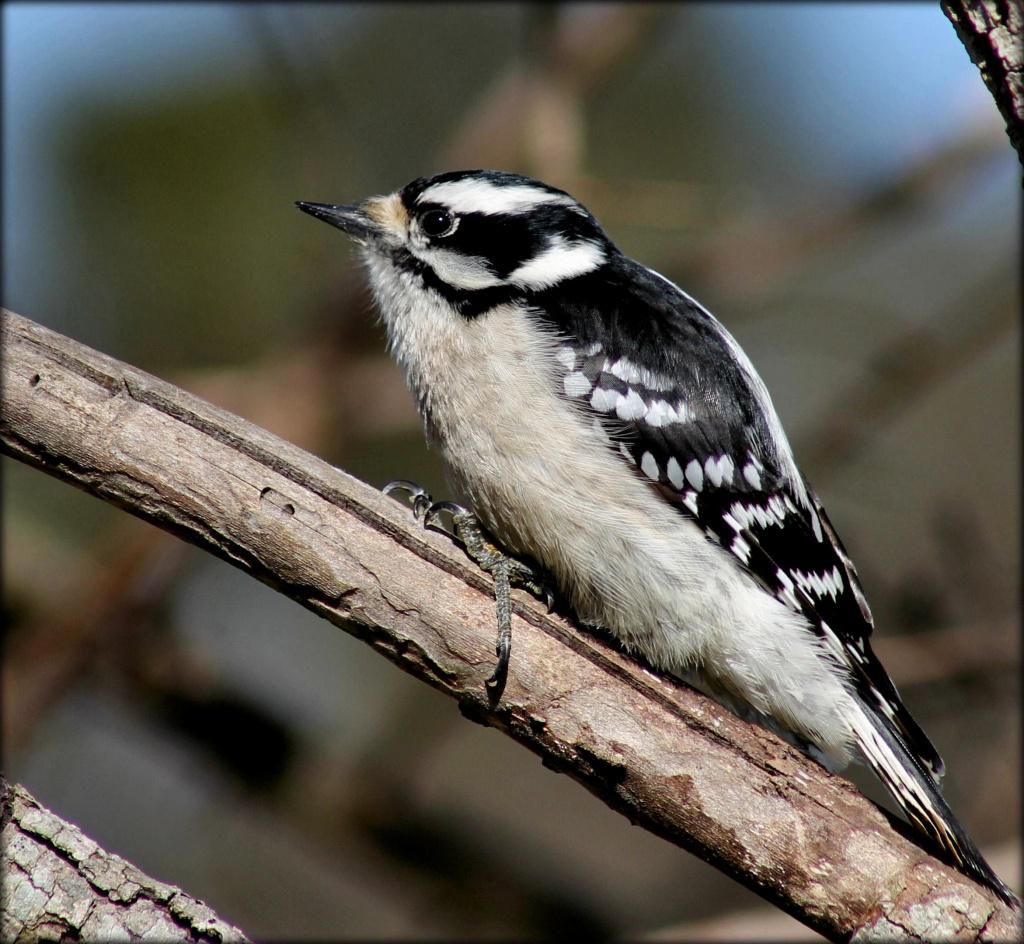 Ms. D. Woodpecker by cjwhite