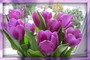 8th Feb 2012 - Tulips in the window