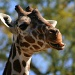 Giraffe by kerristephens