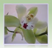 9th Feb 2012 - Orchid