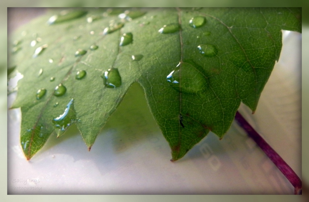 Vine Leaf by salza