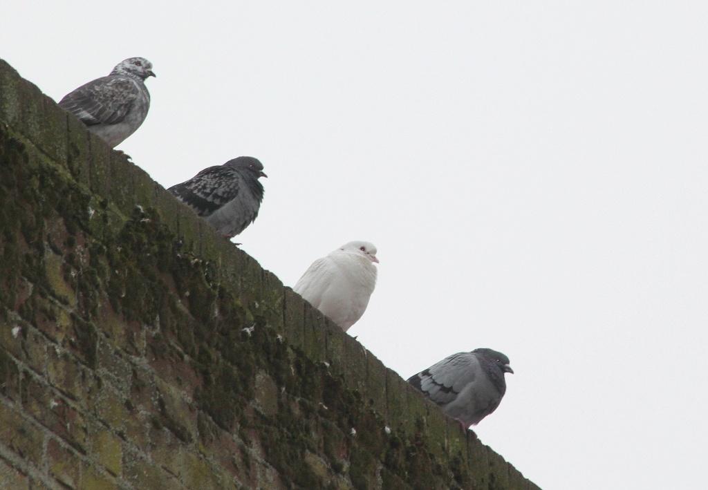 Four pigeons .... by dulciknit