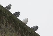 9th Feb 2012 - Four pigeons ....