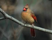 11th Feb 2012 - Female Cardinal