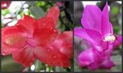 2nd Jun 2010 - Two beauties - cacti flowers