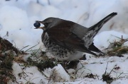 12th Feb 2012 - Fieldfare with berry