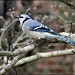 Blue Jay by cjwhite