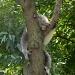 Koala Bear by photogypsy