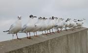 17th Feb 2012 - Seagulls