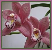 18th Feb 2012 - Orchid