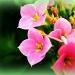 pink flowers by myhrhelper