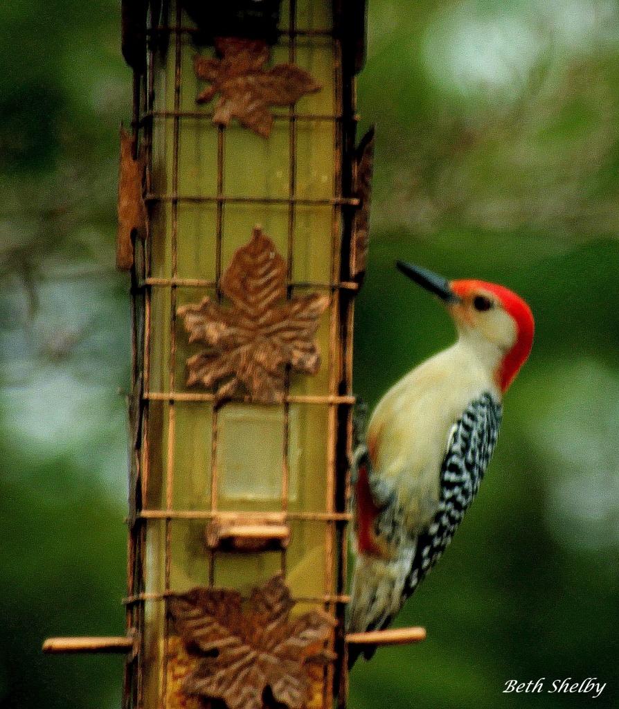 Red Bellied Woodpecker by vernabeth