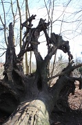 19th Feb 2012 - Uprooted tree