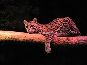 19th Feb 2012 - Ocelot.