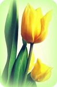 20th Feb 2012 - tulips