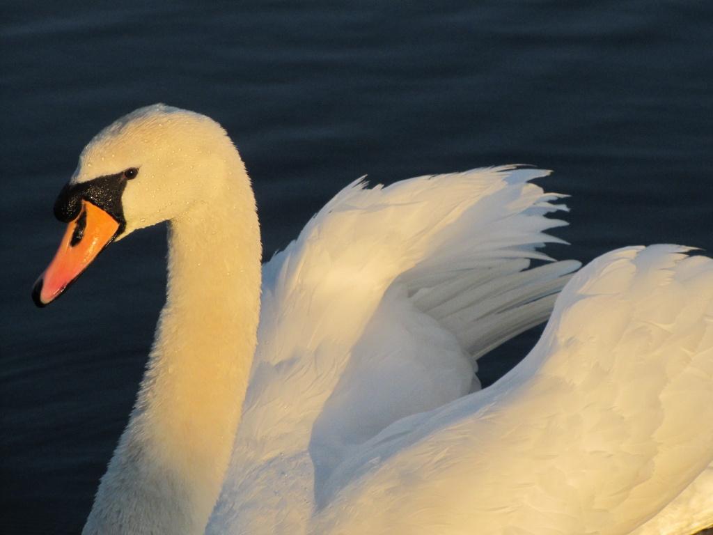 Swan's glow by busylady