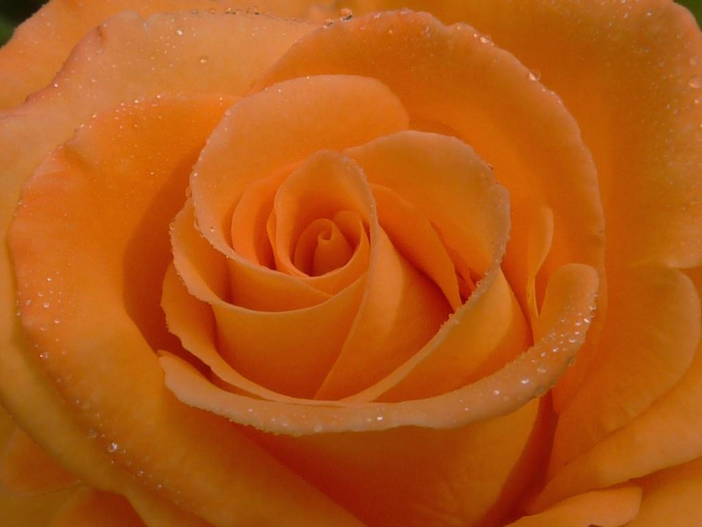 Orange Sherbet by denisedaly