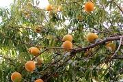 21st Feb 2012 - 2012 02 21 Neighbourly Peaches