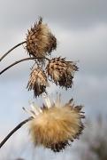 21st Feb 2012 - Seedheads
