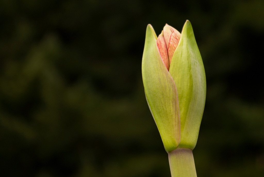 amaryllis by vickisfotos