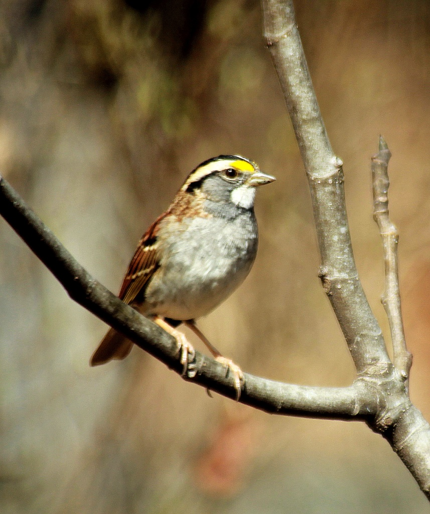 White Throated Sparrow by vernabeth