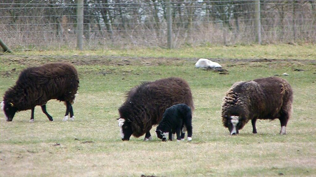 Baa Baa Black Sheep - have you any wool? by rosiekind