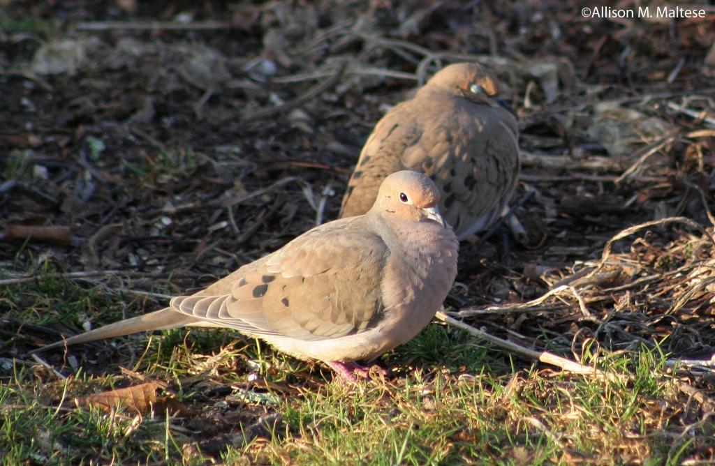 Dove Duo by falcon11