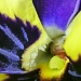 A Pansy's Inner Beauty by calm