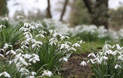 24th Feb 2012 - Waterperry snowdrops