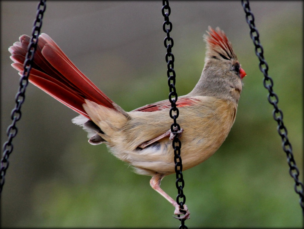 Don't let it ruffle your tail feathers! by cjwhite