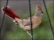 24th Feb 2012 - Don't let it ruffle your tail feathers!