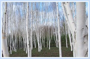 25th Feb 2012 - Birch trees at Anglesey Abbey