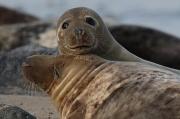 25th Feb 2012 - Seals at Horsey