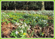 27th Feb 2012 - Snowdrops at Anglesey Abbey