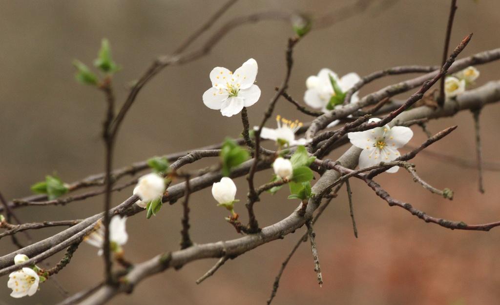 Branchful of blossom by dulciknit