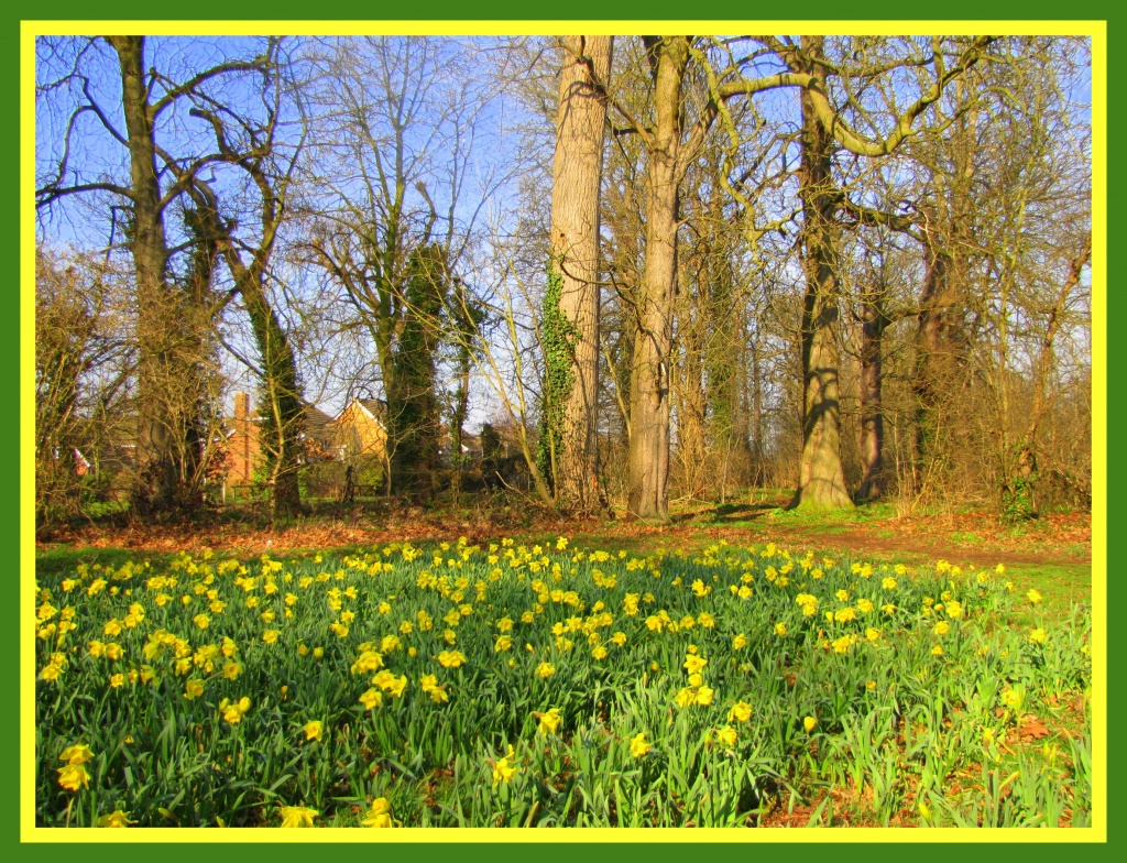 A host of golden daffodils by busylady