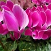cyclamen by summerfield