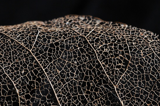 Leaf skeleton by seanoneill