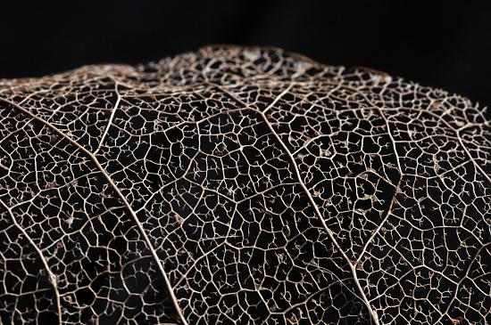 Leaf skeleton by seanoneill