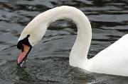 4th Mar 2012 - Swan drinking