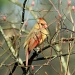 Female Cardinal by vernabeth